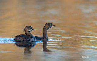 Mating Pair of Pied-billed-grebes