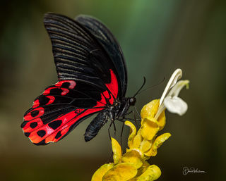 Butterflies of Hershey Gardens