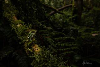 Blue Spotted Dwarf Iguana