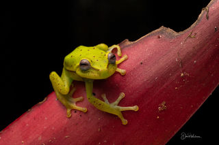 Polka Dot Tree Frog