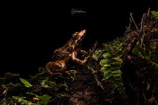 Amazon Jumping Frog