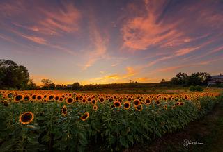 Sunset on the Sunflowers