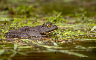 Bullfrog on the pond