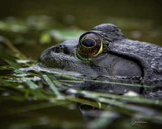 Close up of a Bullfrog