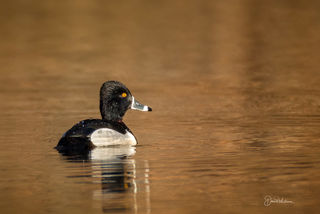 Ringed-Neck Duck