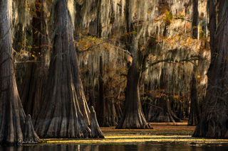 Old Trees Of The South