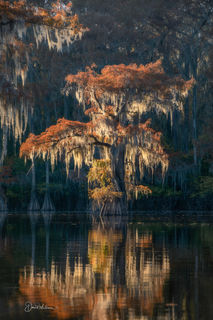 Glowing Cypress