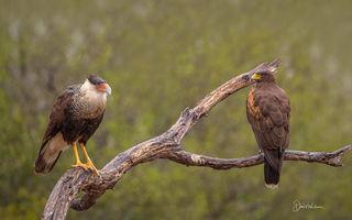 Northern Crested Caracara an Harris Hawk