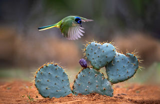 Green Jay Over Cactus