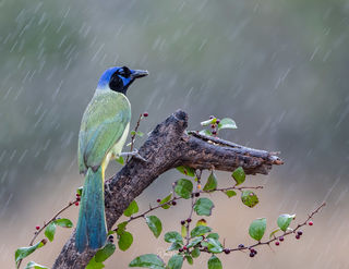 Green Jay In The Rain