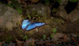 Butterflies and Insects of Costa Rica