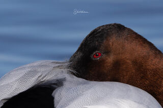 Eye Of The Canvasback