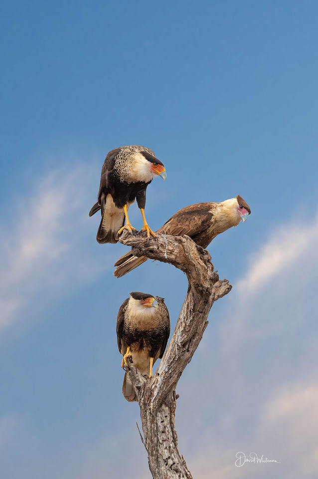 What You Looking At? Northern Crested CaraCara print
