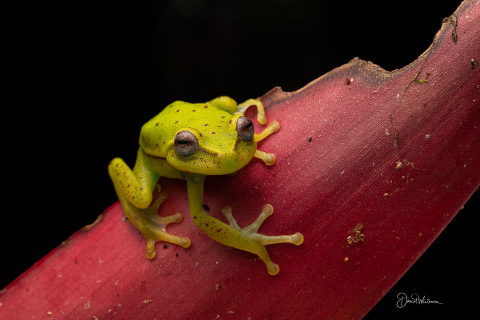 Polka Dot Tree Frog print