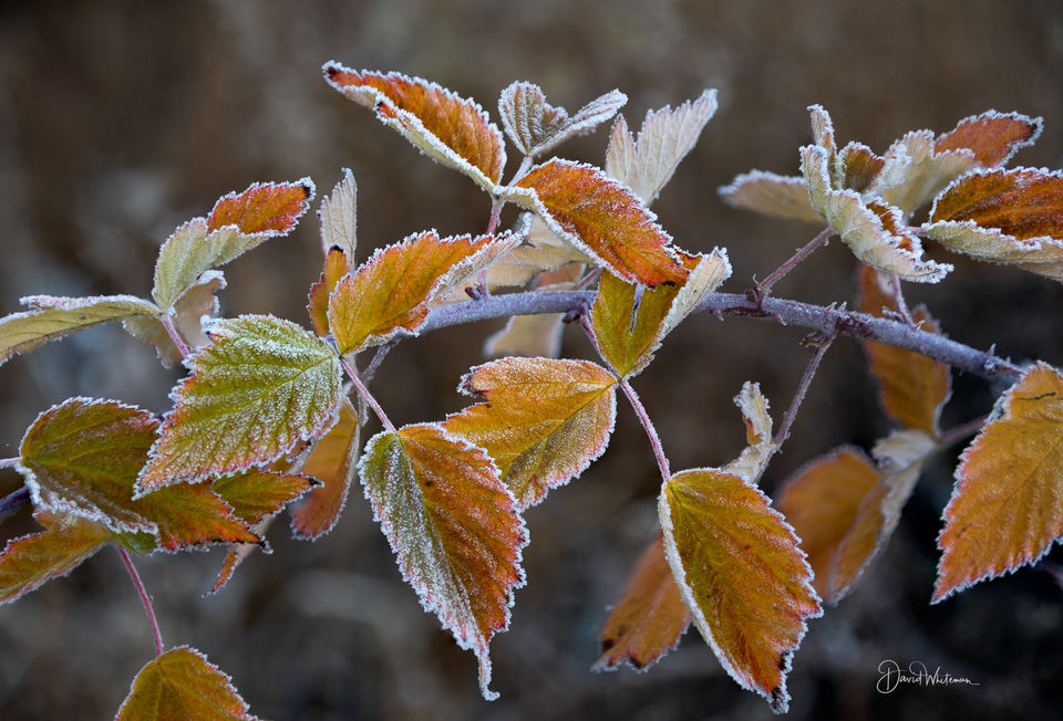 Frost On The Leaves print