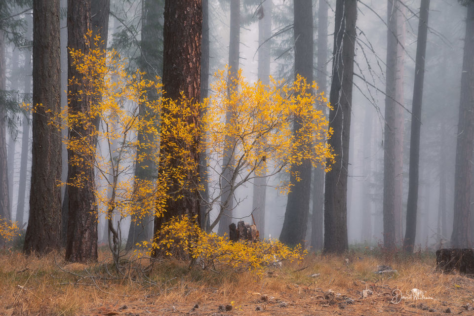 Yellow Tree Out Of The Fog print