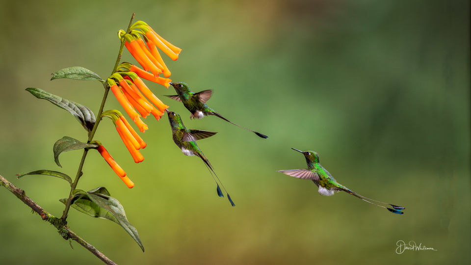 Booted Racket-tail print