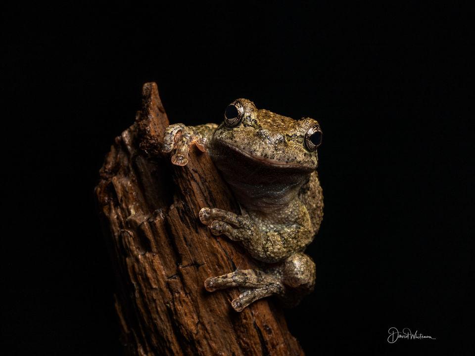 Gray Tree Frog print