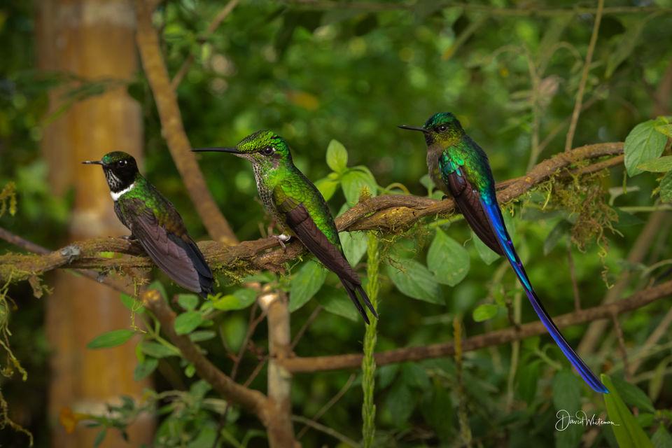 Hummingbird Trio print