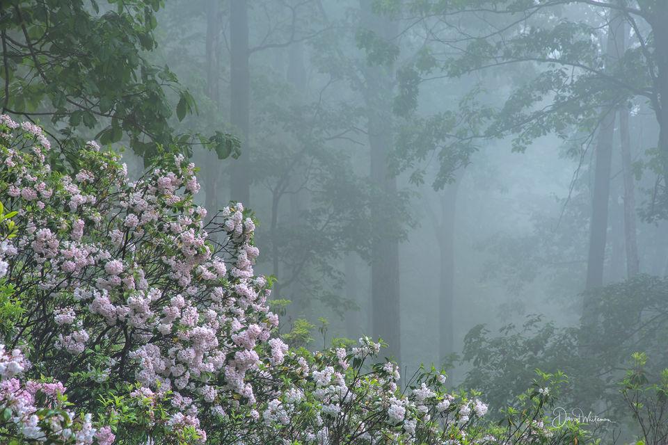 Misty Morning In The Laurel print