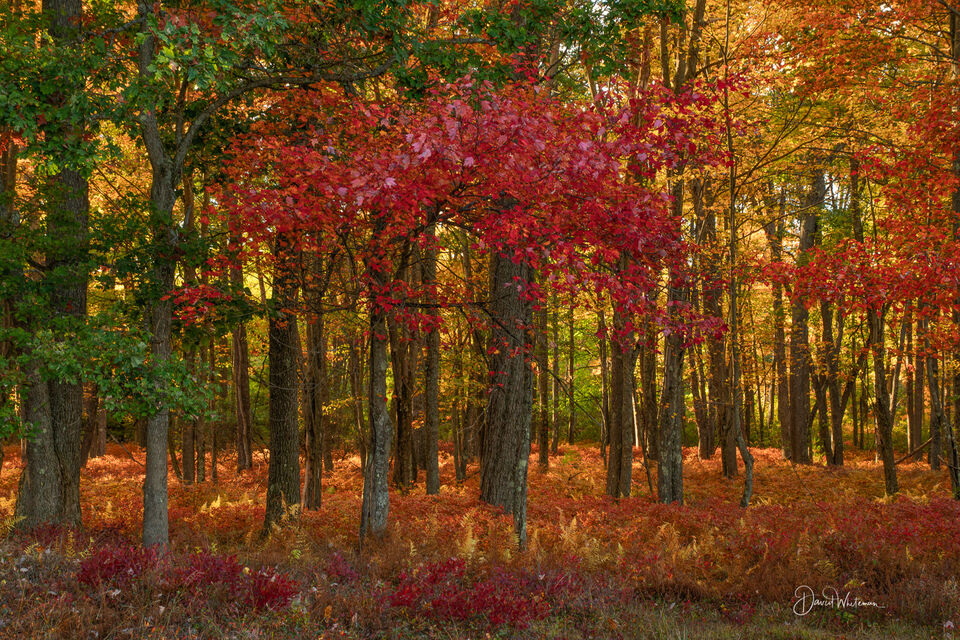 Fall Color in the Quehanna Wilds 2 print