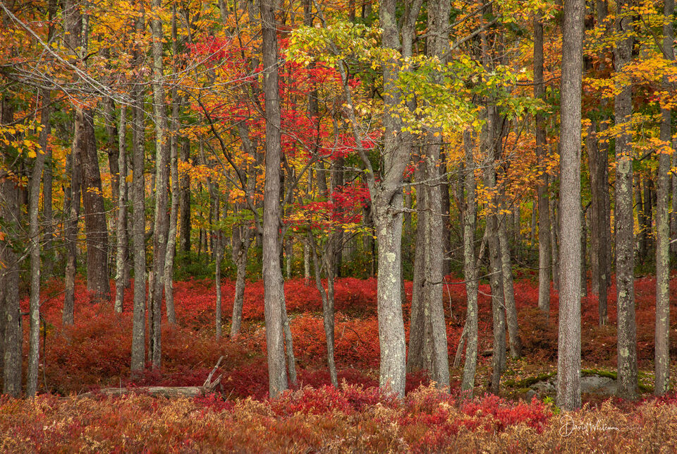 Fall Color in the Quehanna Wilds print