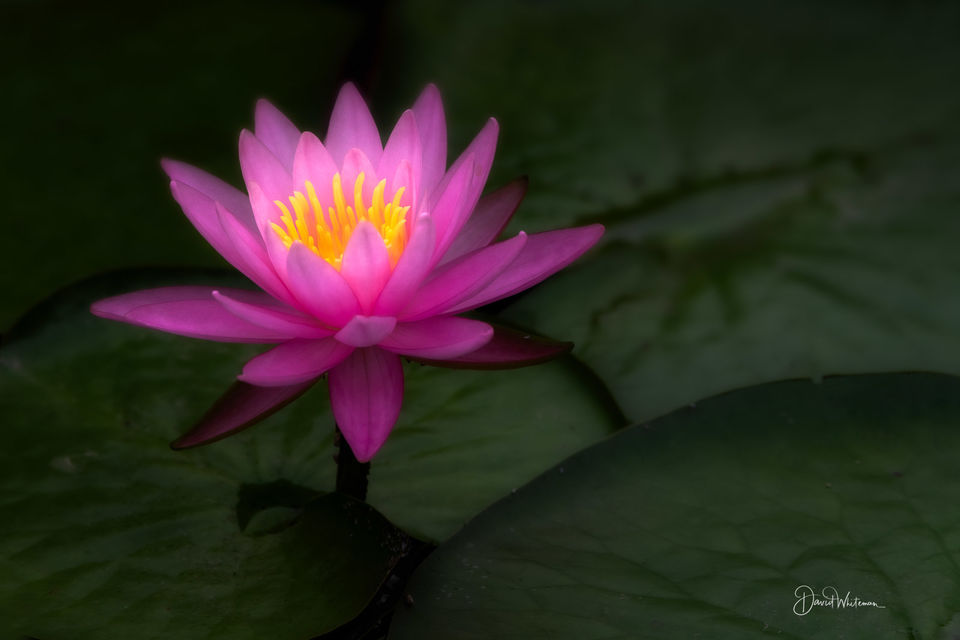 Water Lily 2 print