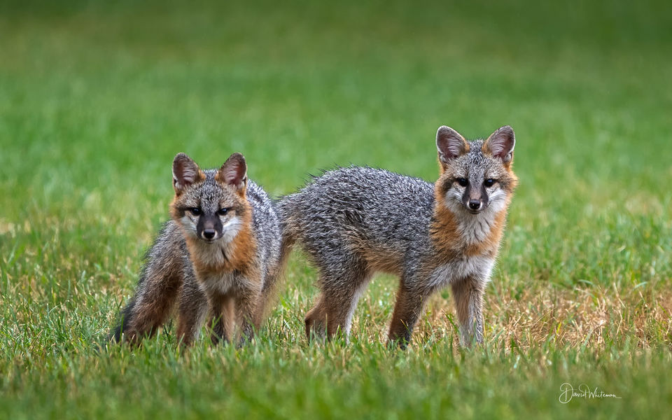 Kit Gray Foxes print