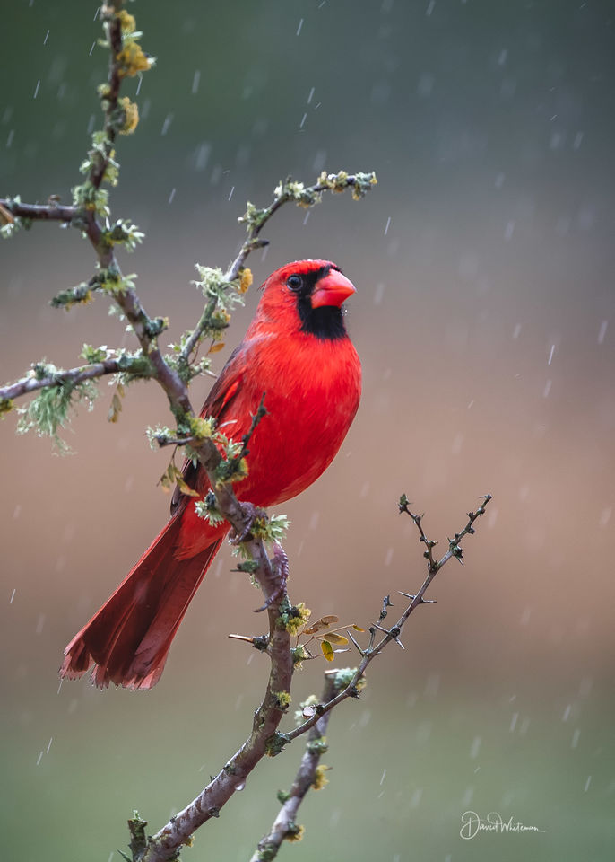Cardinal In The Rain print