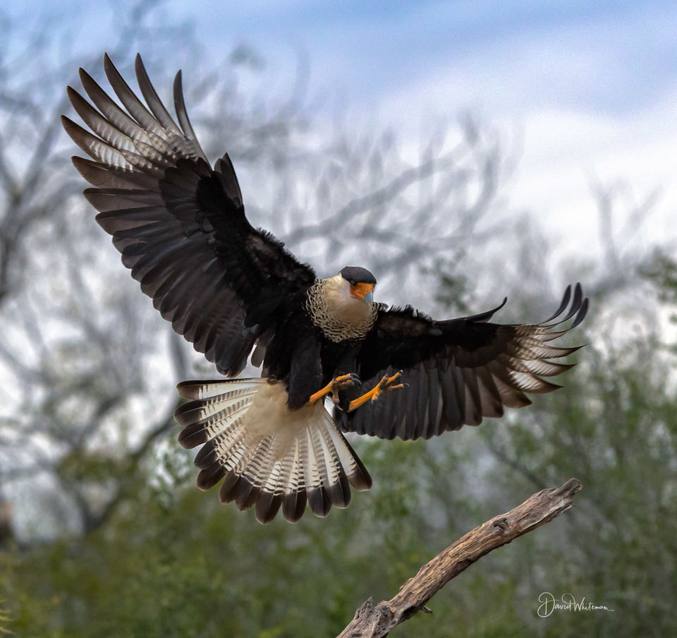 Northern Crested Caracara print