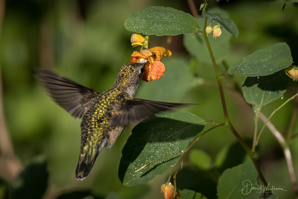 Hummer In The Jewelweed print
