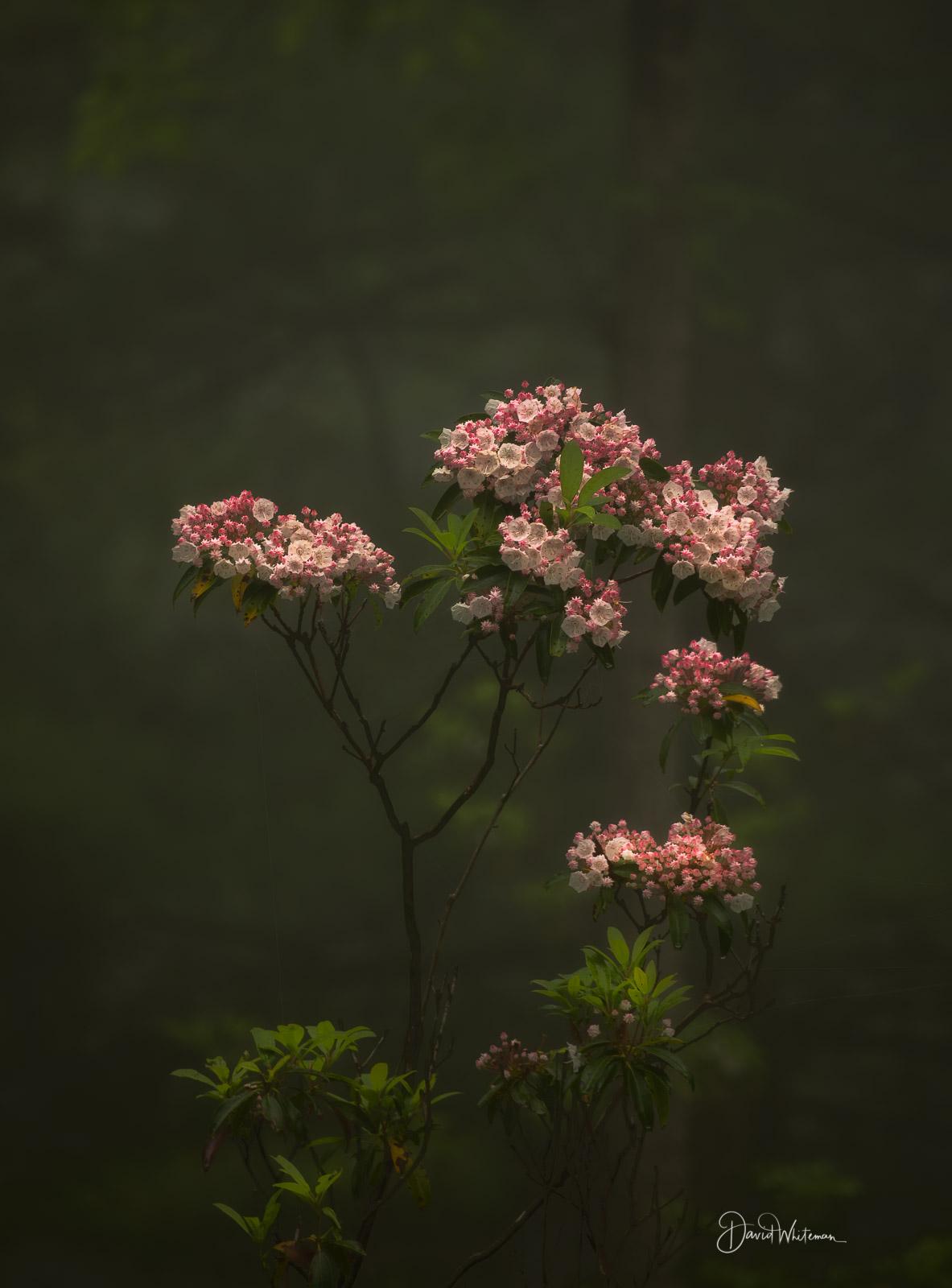 Pink & White Laurel