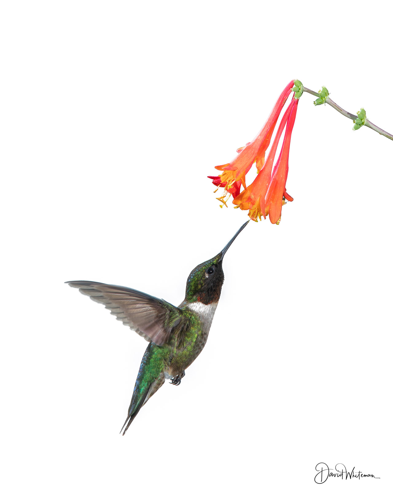 Hi Key Hummingbird